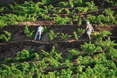 Vignes-et-murettes-terroir-vin-Banyuls-Collioure.redjpg